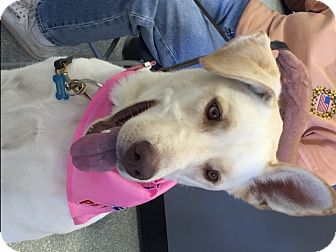 Shepherd (Unknown Type)/Labrador Retriever Mix Dog for adoption in Amherst, Ohio - SIERRA-PENDING