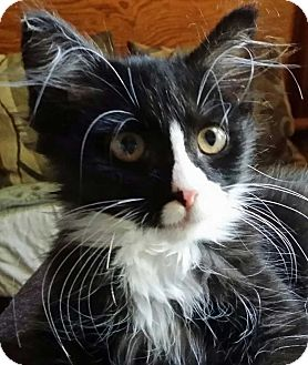 Domestic Longhair Kitten for adoption in Brighton, Missouri - Marcy