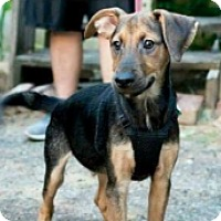 Adopt A Pet :: Shepherd Hound Black and Tan - Pompton Lakes, NJ