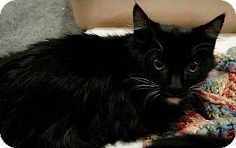 Domestic Mediumhair Kitten for adoption in Sacramento, California - Grumplestilskin