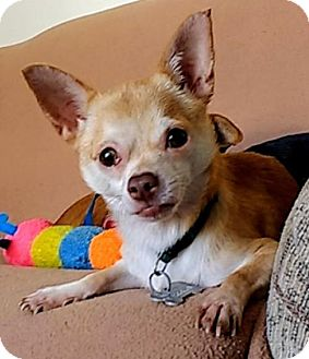 Chihuahua Mix Dog for adoption in Von Ormy, Texas - Georg