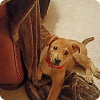 German Shepherd Dog Mix Puppy for adoption in New Oxford, Pennsylvania - Isaac