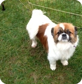 Pekingese Dog for adoption in Tumwater, Washington - Peggie