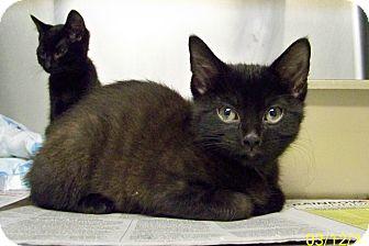 Domestic Shorthair Kitten for adoption in Dover, Ohio - Kurt