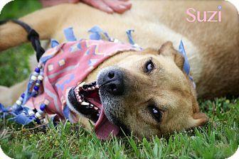 German Shepherd Dog/Labrador Retriever Mix Dog for adoption in Wilmington, Delaware - Suzi