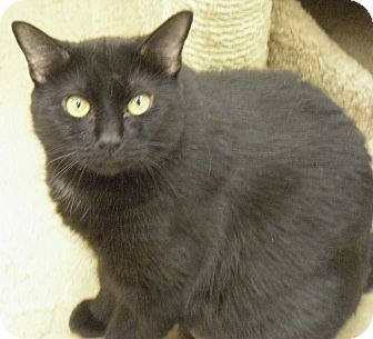 Domestic Shorthair Cat for adoption in Wickenburg, Arizona - Samoa