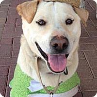 Adopt A Pet :: Brewer - Phoenix, AZ
