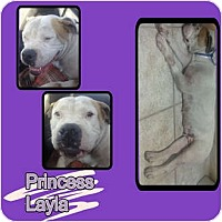 Adopt A Pet :: PRINCESS LAYLA - Hollywood, FL