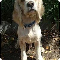 Adopt A Pet :: Carl - Sugarland, TX