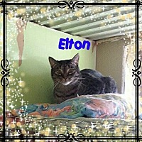 Domestic Shorthair Cat for adoption in New Richmond,, Wisconsin - Elton