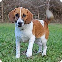 Adopt A Pet :: Copper ADOPTION PENDING - Waldorf, MD