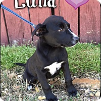 Adopt A Pet :: Luna (Pom-dc) - Washington, DC