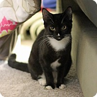 Domestic Shorthair Cat for adoption in Oakhurst, New Jersey - Blossom