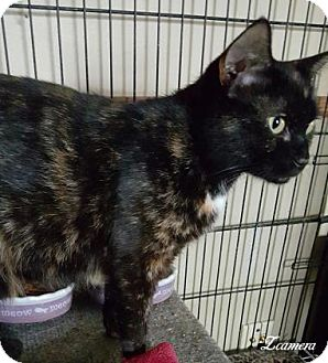 Domestic Shorthair Cat for adoption in McDonough, Georgia - Havanna