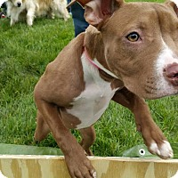 Adopt A Pet :: Ginger - Villa Park, IL