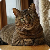 Domestic Shorthair Cat for adoption in Wakefield, Massachusetts - Glam