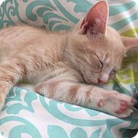 Domestic Mediumhair Kitten for adoption in Jacksonville, Florida - Milkshake