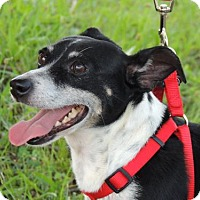 Rat Terrier Dog for adoption in Franklin, Tennessee - GABBY