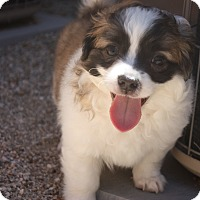 Adopt A Pet :: Chandler - Henderson, NV