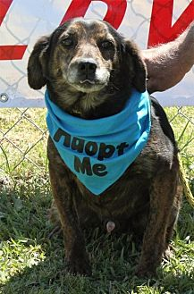Dachshund Mix Dog for adoption in Grayson, Louisiana - Bones