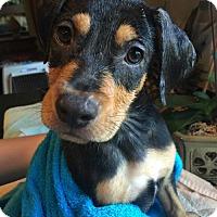 Adopt A Pet :: Shindy Pup - Horseback - Adopted! - San Diego, CA