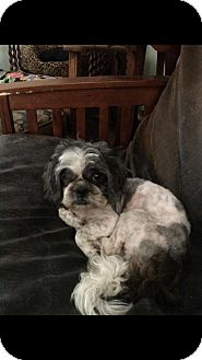Shih Tzu Mix Dog for adoption in Healdsburg, California - Jack