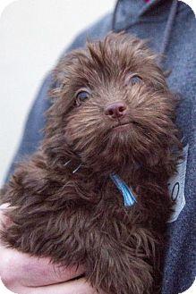 Havanese Puppy for adoption in St. Louis Park, Minnesota - Javi
