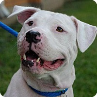 Boxer/American Bulldog Mix Dog for adoption in Bismarck, North Dakota - Pearl