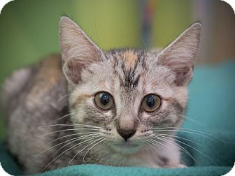 Domestic Shorthair Kitten for adoption in Los Angeles, California - Chelsea