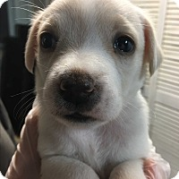 Adopt A Pet :: Tara Pup 1 left! - Pompton Lakes, NJ