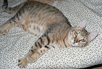 Domestic Shorthair Cat for adoption in Freehold, New Jersey - Jazzmine