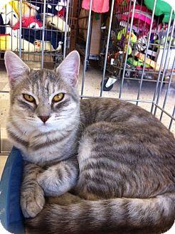 Domestic Shorthair Cat for adoption in Sacramento, California - Simora M