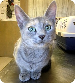Domestic Shorthair Cat for adoption in Fredericksburg, Virginia - Willow