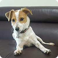 Jack Russell Terrier/Rat Terrier Mix Puppy for adoption in Plano, Texas - Corey - Lucky Puppy