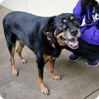 Adopt A Pet :: Ivy - McKinney, TX