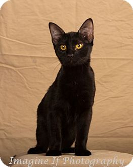 Domestic Shorthair Kitten for adoption in Edmond, Oklahoma - Twilight