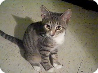American Shorthair Kitten for adoption in Holmes Beach, Florida - Evie