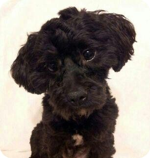 Poodle (Miniature) Mix Dog for adoption in Bridgeton, Missouri - Parker