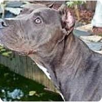 Adopt A Pet :: Chocolat - Orlando, FL
