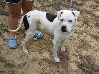American Bulldog Dog for adoption in Hayden, Alabama - Dixie