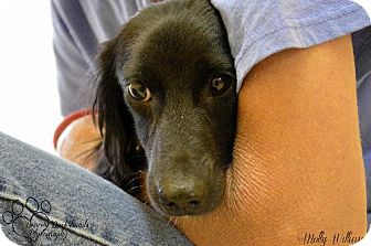 Dachshund Dog for adoption in Aurora, Colorado - Jacques