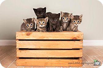 Domestic Shorthair Kitten for adoption in Manhattan, Kansas - Hermione