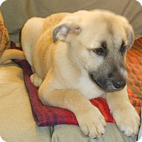 Adopt A Pet :: Lab/Shepherd Mix Pup-Benjamin - Midlothian, VA