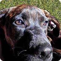 Adopt A Pet :: Camo - Little Rock, AR