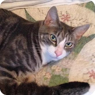 Domestic Shorthair Cat for adoption in Marlboro, New Jersey - Bandit
