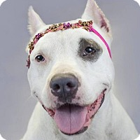 Adopt A Pet :: Ivory - Fort Lauderdale, FL