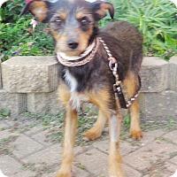 Adopt A Pet :: Britin - West Chicago, IL