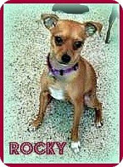 Miniature Pinscher Dog for adoption in Sacramento, California - ROCKY