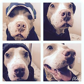 Pit Bull Terrier/Basenji Mix Dog for adoption in Snyder, Texas - Truman