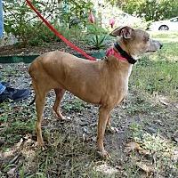 Adopt A Pet :: Miranda in Austin Area - Argyle, TX